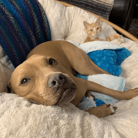 Wesley the rescued pitbull enjoying a snuggle with his feline sibling.