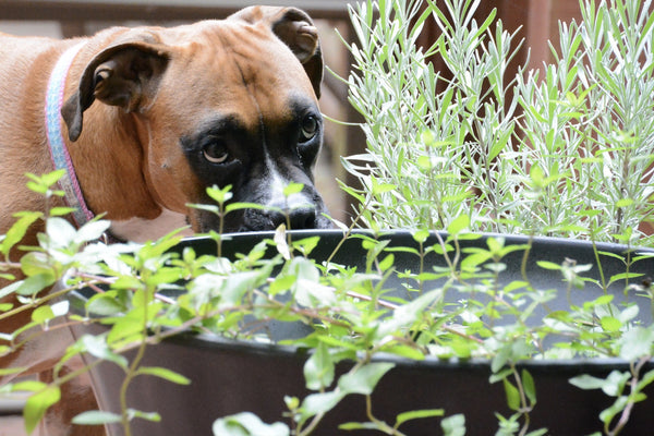 A Boxer sniffing on some fresh lavender