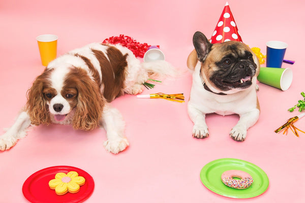 A French Bulldog celebrating his birthday with a Cavalier King Charles Spaniel