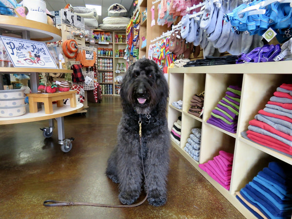 A black Labradoodle shopping at a pet store