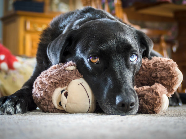 A black Labrador Retriever and her plush gorilla