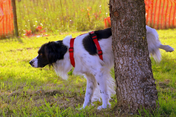 A dog peeing on a tree