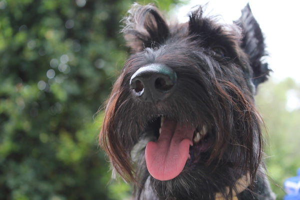 A happy Scottish Terrier with raised eyebrows