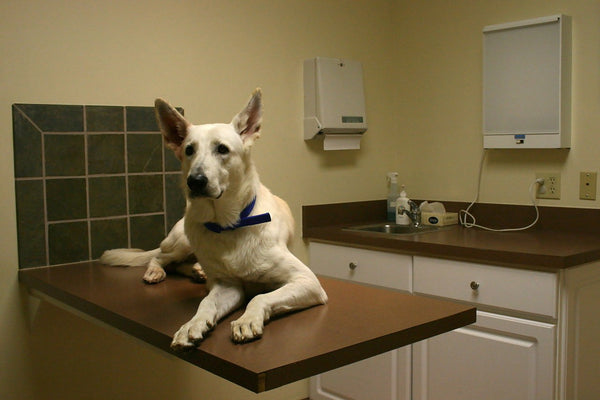 A white GSD at the vet's office