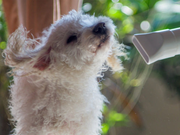 A white dog getting a blow dry