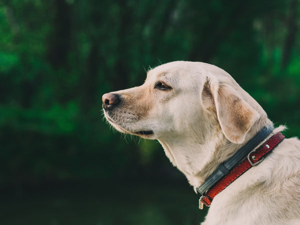 A yellow Labrador Retriever wearing type types of collars