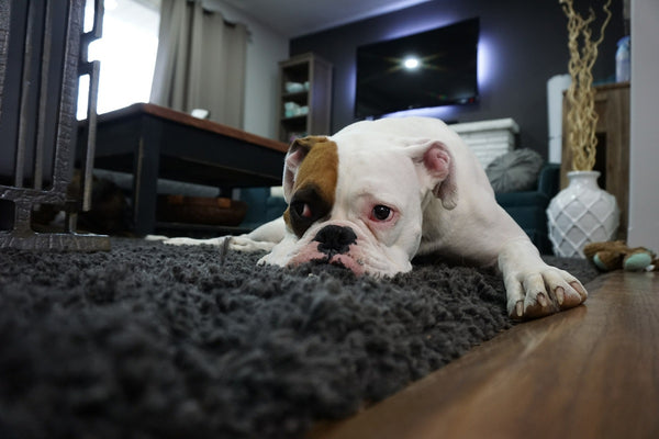 An English Bulldog lying on a rug