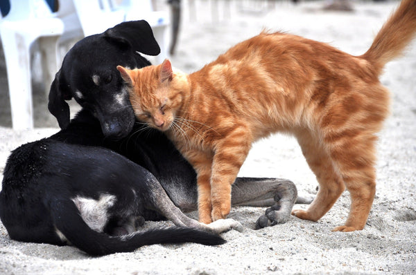 An orange cat and a black dog cozying up to each other
