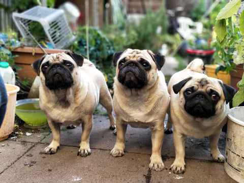 Are Pugs The Right Choice For You