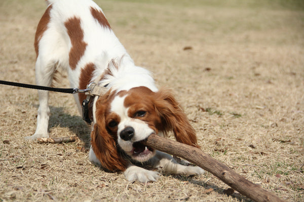 Cavalier King Charles Spaniel offering a large branch