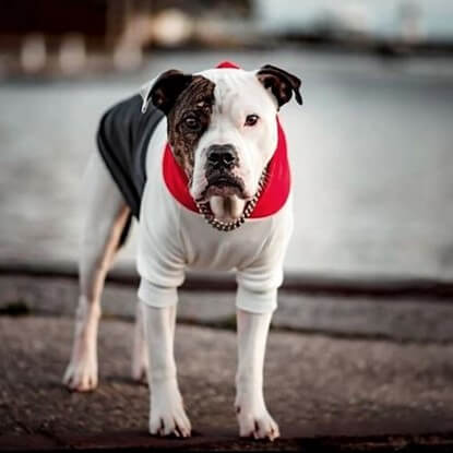 @itshenrythebully hanging out by the water in his Spark Paws Red, White, Navy Dog Hoodie.