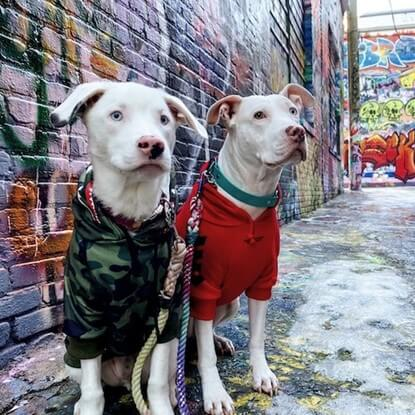 @thegossipdogs wandering in their Spark Paws dog hoodies.