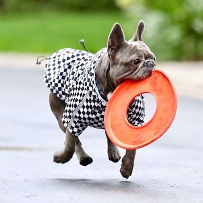 @kinglouis_thefrenchie fetching a frisbee in his Spark Paws Checkered Flag Dog Windbreaker.