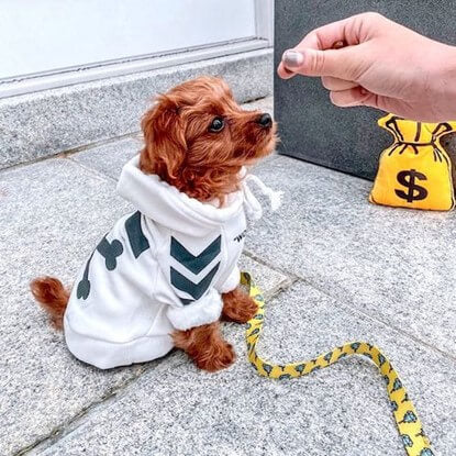 @oliver_themaltipoo_ getting some training time in his Spark Paws WOOF Dog Hoodie in white.