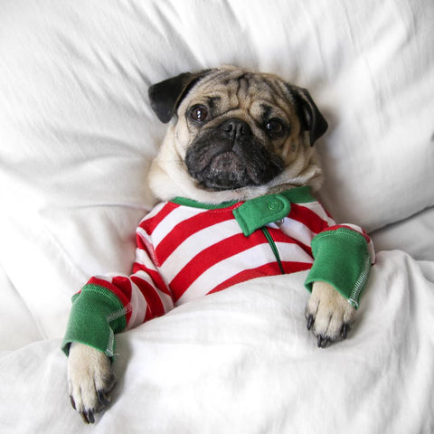 pug chilling in dog apparel