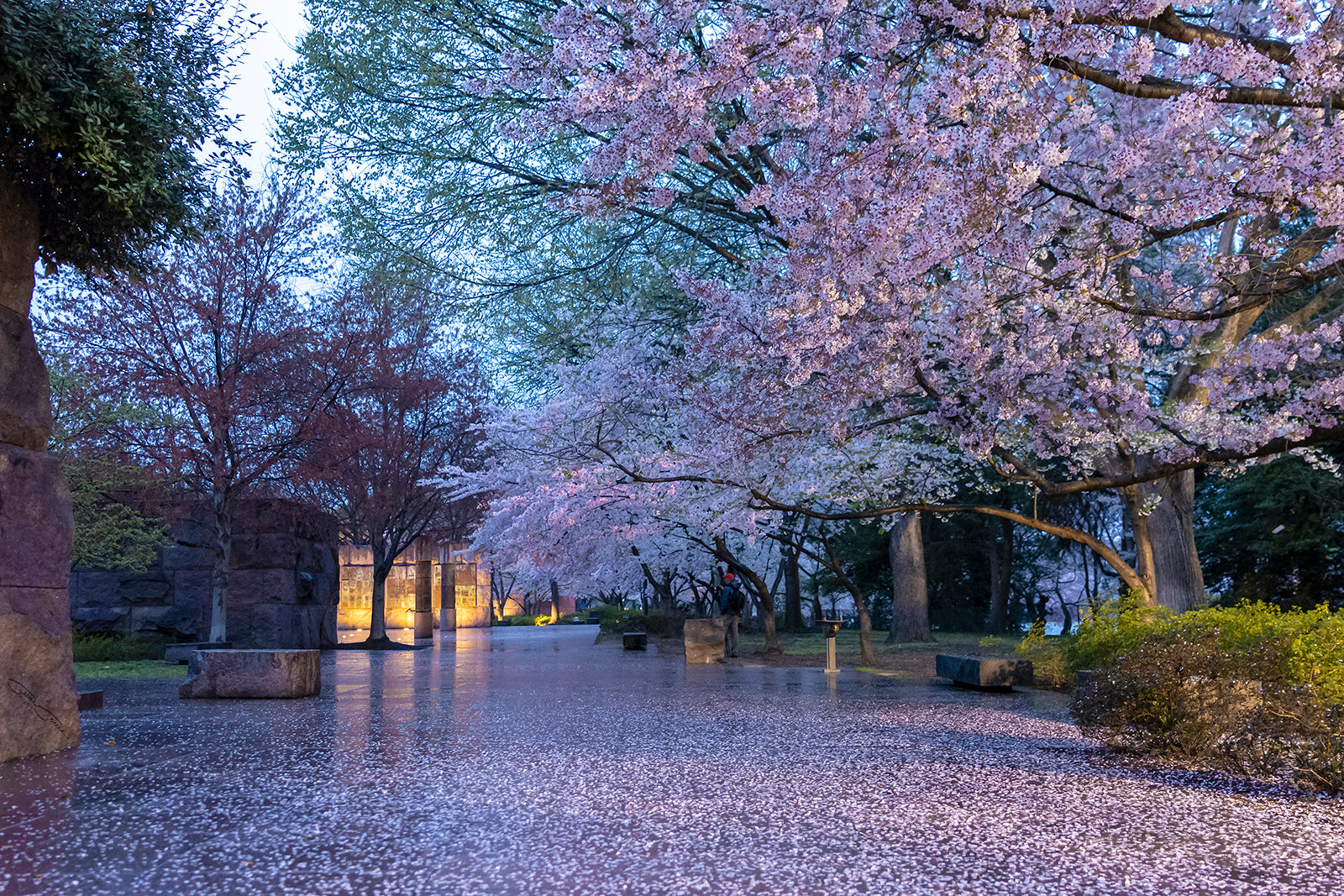 Rainy Day Cherry Blossoms