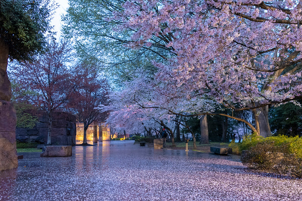 Cherry Blossoms scattered about during a rainy day in Washington DC.