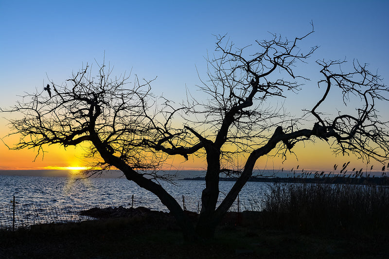 A tree has been silhouetted during a sunrise on the Chesapeake Bay.