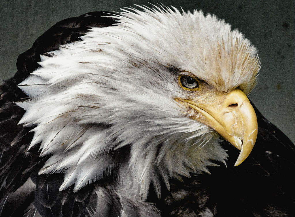 Symbol of the American Spirit. The Eagle