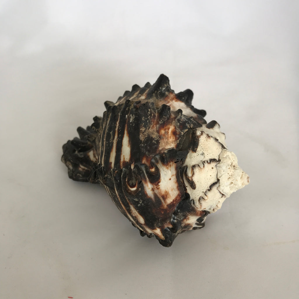 Small Natural King's Crown Shell