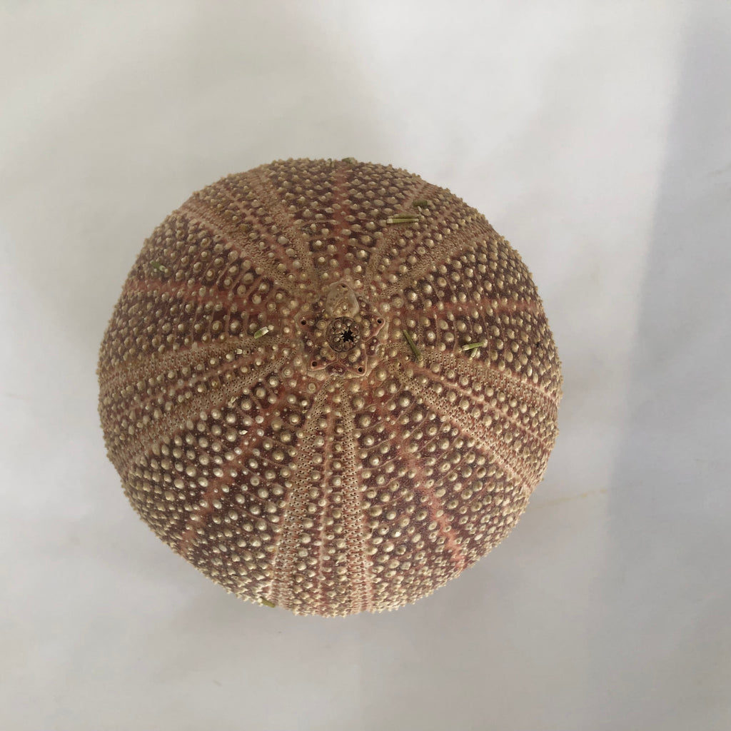 Natural Sea Urchin