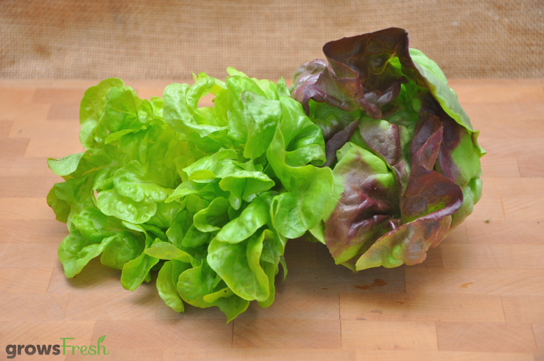 Organic Lettuce - Green and Red Oak (Butter Lettuce) - Australian