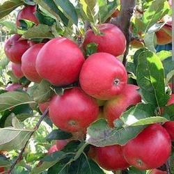 Organic Apples - Red