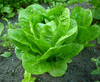 Organic Lettuce - COS - whole piece - Australian