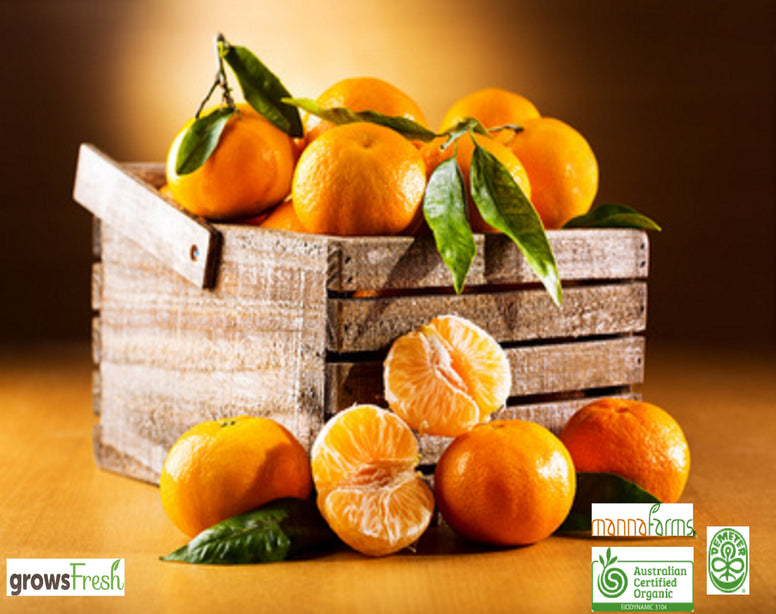 Organic Oranges - Juicing Quality - Australian