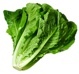 Lettuce takes off