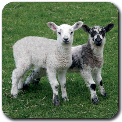 Lambs Coaster<br>(Pack of 10)