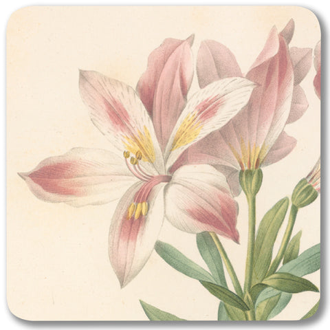 Peruvian Lily - Potstand<br>(Pack of 5)