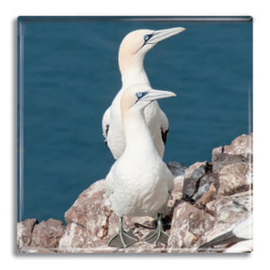 Gannets Fridge Magnet<br>(Pack of 10)