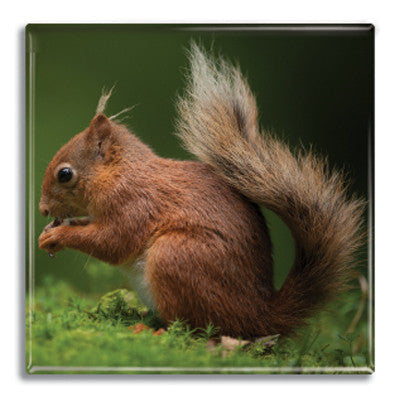 Squirrel Fridge Magnet<br>(Pack of 10)