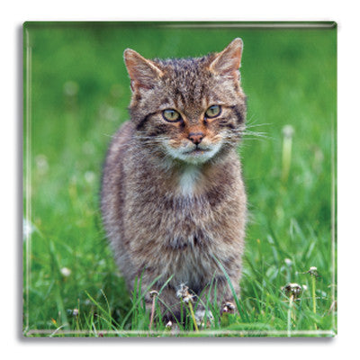 Wildcat Fridge Magnet<br>(Pack of 10)