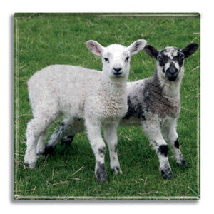 Lambs Fridge Magnet<br>(Pack of 10)