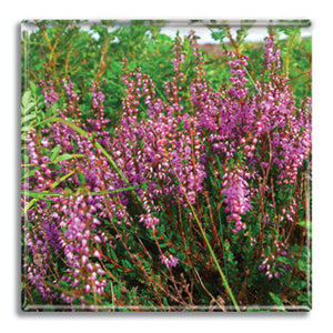 Heather Fridge Magnet<br>(Pack of 10)