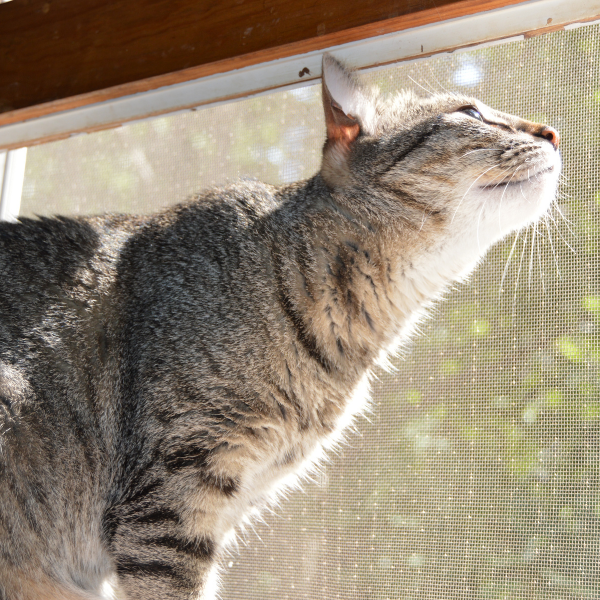 grey tabby cat sitting on windowsill with nose pointed up toward the sky