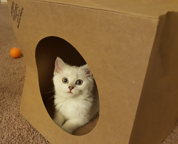 fluffy white kitten looking at camera from inside a Hide and Sneak paper cat tunnel