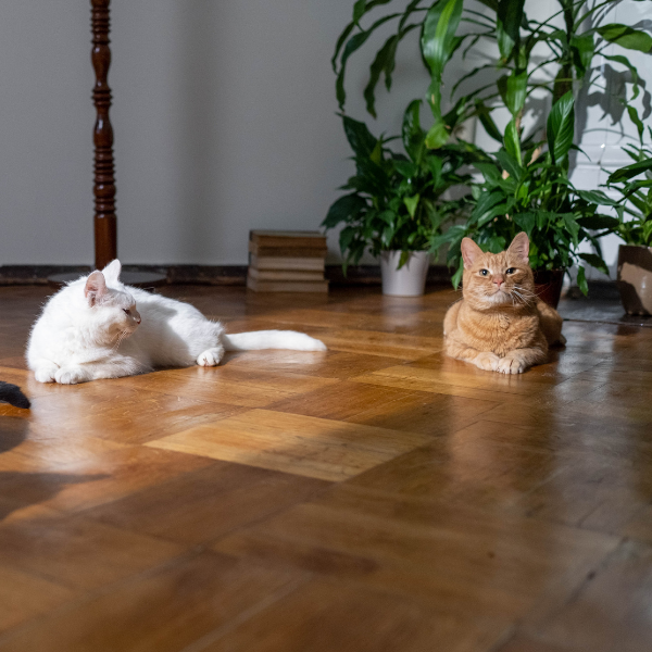 one white cat and a orange tabby cat lying on a wood floor in a sun puddle