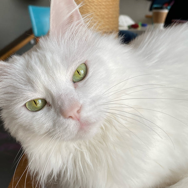 white cat with sparkling green eyes looking up at camera