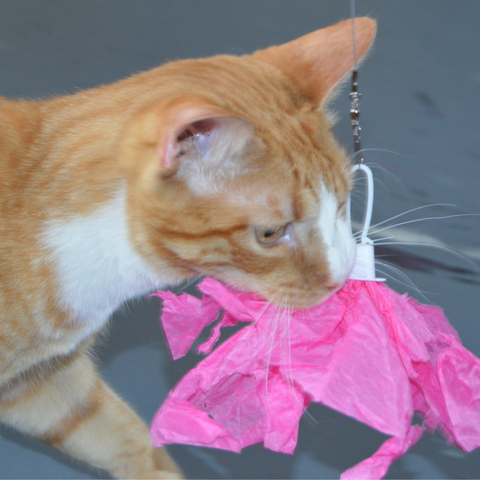 Orange tabby cat carrying a Looper with a pink sheet of tissue paper