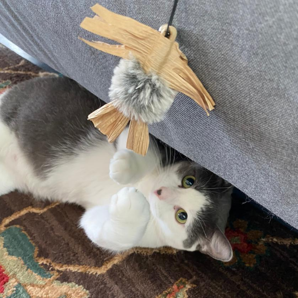 grey and white cat playing with a buzzer wand toy