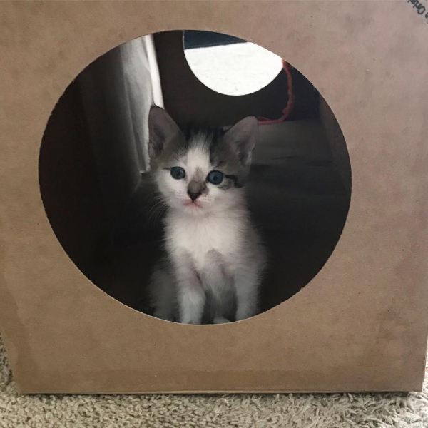 kitten peeking out of the Hide and Sneak cat tunnel
