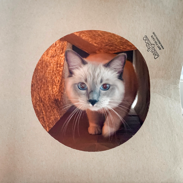 Snowshoe cat inside of a Hide and Sneak paper cat tunnel looking at camera