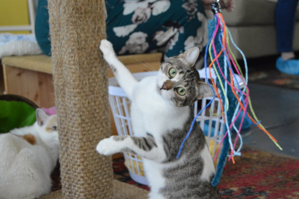 Cat standing with one front paw holding onto a scratch post while looking at a Squid cat toy by Dezi & Roo