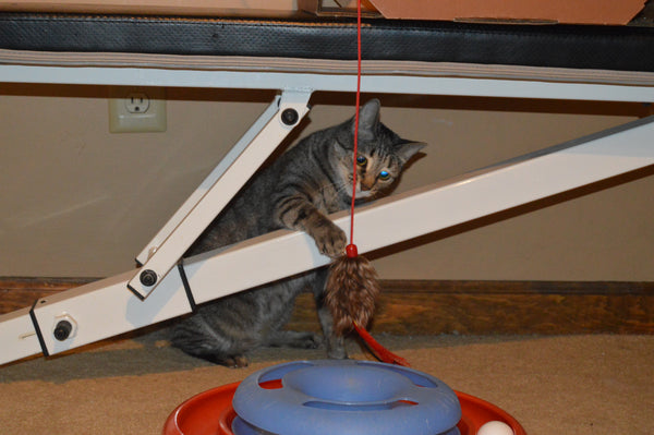 tabby cat playing with wand toy