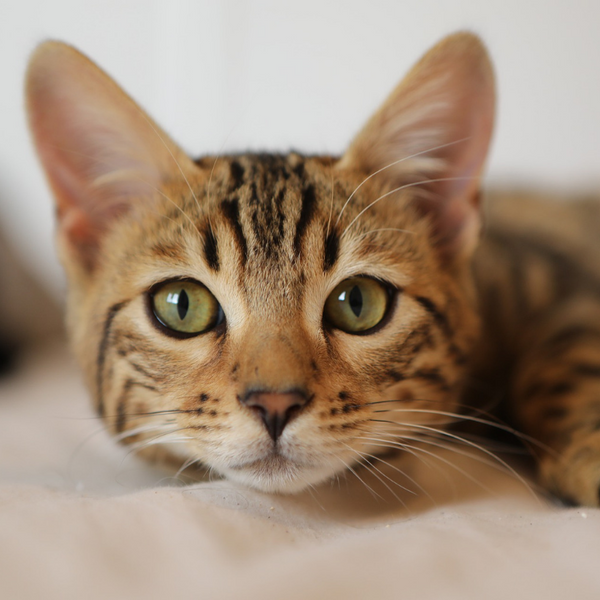 bengal looking cat staring at the camera