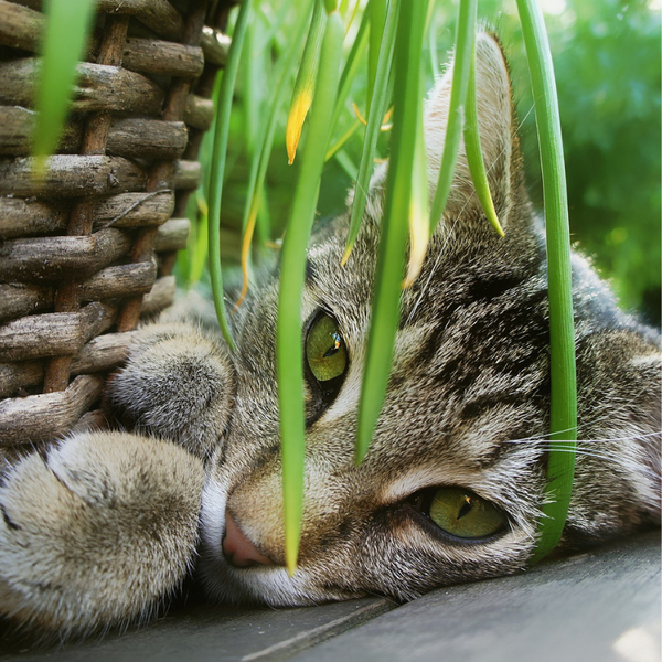 cat lying on side looking at the camera half hidden by a planter with leaves hanging over