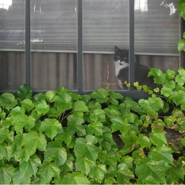 black and white cat looking out of the window that is partially covered in ivy